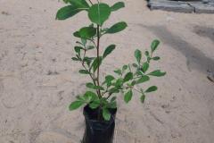 Das ist ein kleiner Mangobaum. Wir haben es der Kommune in Patar für die ökologische Landwirtschaft mitgebracht.