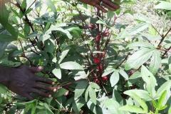 Die wunderbare Pflanze Hibiskus, oder wie sie hier genannt wird, Mbissap, leuchtet rot und ist ein Traum für die Nase.