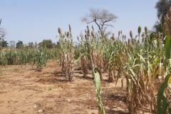 Ende Oktober ist Erntezeit. Eben noch überall grün, ist jetzt schnell wieder nur Sand zu sehen