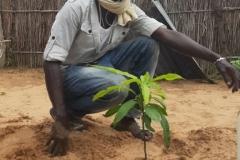 Der erste Mangobaum wird eingepflanzt.
