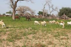 Viele Felder können aufgrund des Wassermangels nicht genutzt werden. Ein Teil von Ihnen dient den Tieren für ihren Auslauf.