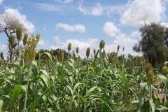 Anfang Oktober erblicken wir wunderschöne Getreidefelder, die blühen.