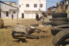 Die Hitze macht auch den Pferden sehr  zu schaffen.