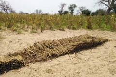 Diesem Feld steht die Ernte an. Es wurde bereits begonnen.