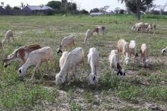 Die Ziegen sind in Senegal die beliebtesten Haustiere, wie bei uns die Hunde und Katzen.