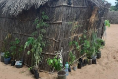 Das sind unsere aus dem parc nationale in Dakar, mitgebrachten Pflanzen. Es handelt sich hier um Mango, Papaya, Zitronengras, Hibiskus und einheimische Bäume, die den Boden düngen.