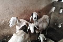 Auch die lieben Haustiere, die Ziegen, begrüßen uns.